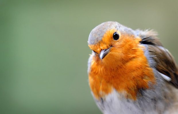 peak_district_birds_-_the_robin_2